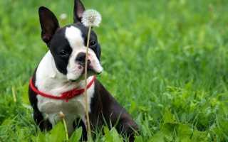 Кашель у собаки как будто подавилась лечение