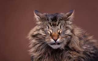 Кашель у кота причины