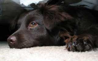 Собачий грипп симптомы лечение